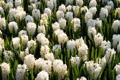Cama dos hyacinths na luz solar Imagem de Stock