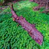 A cama dos trevos cerca um tronco da sequoia vermelha Imagens de Stock