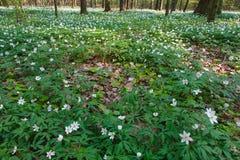 Cama floral dos Windflowers da primavera Foto de Stock Royalty Free
