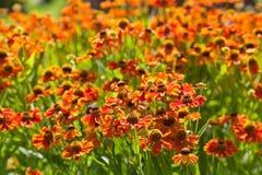 Cama floreciente de la flor del gaillardia Imagen de archivo libre de regalías