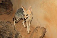 Cama fox Royalty Free Stock Photos