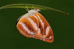 Cama/mariposa de Athyma en la ramita, hembra Foto de archivo