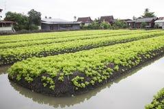 Cama verde do vegetal do carvalho foto de stock royalty free