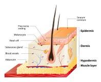 Camadas da pele ilustração do vetor