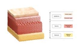 Camadas de pele humana Fotos de Stock