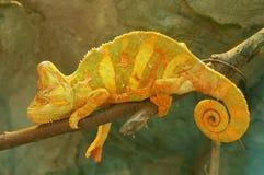 Camaleão amarelo no ramo fotografia de stock royalty free