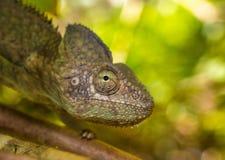Camaleão colorido de Madagáscar, foco muito raso Fotografia de Stock