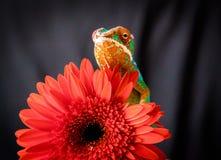 Camaleão da pantera fotos de stock royalty free
