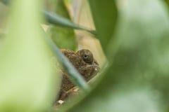Camaleão da pantera que esconde entre os ramos Imagens de Stock Royalty Free
