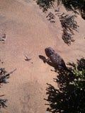 Camaleão de Namaqua Fotografia de Stock Royalty Free