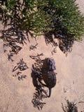 Camaleão de Namaqua Imagens de Stock