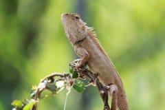 camaleão, dragão Imagens de Stock