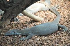 Camaleão grande do lagarto Imagem de Stock