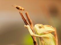 camaleão no besouro da caça do ramo - calyptratus da Cone-cabeça de Chameleo Fotografia de Stock