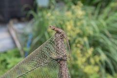 Camaleão no fundo verde de madeira Foto de Stock