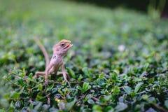 Camaleão ou lagarto Imagens de Stock