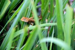 Camaleão pequeno tailandês Foto de Stock