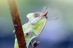 Camaleão que come a libélula, camaleão encoberto, fotografia de stock royalty free
