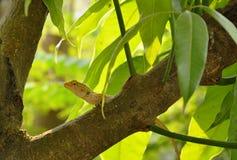 Camaleão que escala na árvore de manga no jardim Fotos de Stock Royalty Free