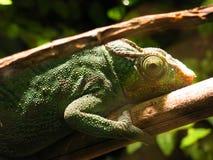 Camaleão verde fotografia de stock royalty free