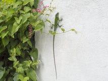 Camaleão verde em uma parede branca Fotos de Stock