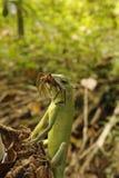 Camaleão verde, lagarto saurian fotografia de stock