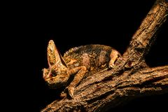 Camaleón Imagenes de archivo