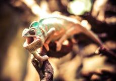Camaleón fotografía de archivo