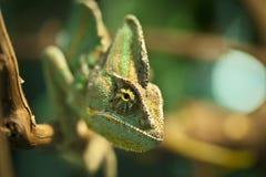 Camaleón Imagen de archivo