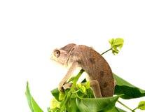 Camaleón Imágenes de archivo libres de regalías