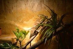 Camaleón Imagen de archivo libre de regalías