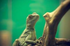 Camaleón Fotos de archivo