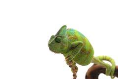 Camaleón aislado en blanco Fotos de archivo