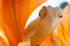 Camaleón. Aislamiento en blanco imagen de archivo