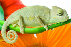 Camaleón. Aislamiento en blanco Imagenes de archivo