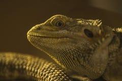 Camaleón amarillo Imagen de archivo libre de regalías