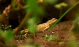 Camaleón amarillo alerta Fotos de archivo