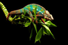 Camaleón azul de la pantera de la barra Imagen de archivo