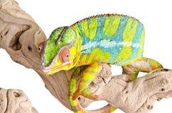 Camaleón colorido. foto de archivo