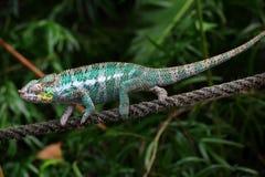 Camaleón colorido Imagen de archivo