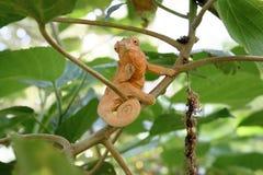 Camaleón de Femal Imágenes de archivo libres de regalías