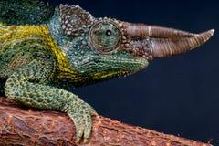 Camaleón de Jackson de Willegensi Fotografía de archivo libre de regalías