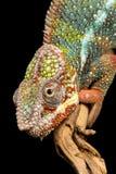 Camaleón de la pantera Foto de archivo libre de regalías