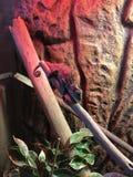 Camaleón de la pantera del bebé Fotografía de archivo libre de regalías