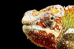 Camaleón de la pantera (pardalis de Furcifer) Imagen de archivo libre de regalías