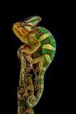 Camaleón de Yemen Imagen de archivo libre de regalías