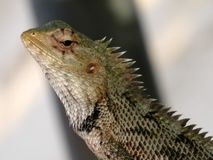 Camaleón del lagarto Fotografía de archivo libre de regalías