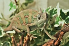 Camaleón del verde de Yound en las hojas imagenes de archivo