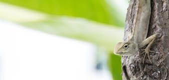Camaleón en árbol Fotos de archivo libres de regalías