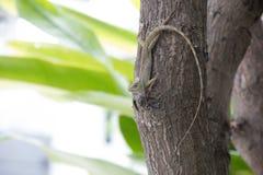 Camaleón en árbol Foto de archivo libre de regalías
